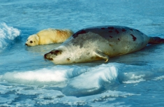 1-61 Quebec 2002, Gulf of St Lawrence, harp seal with pup on pack ice