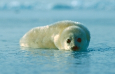 1-67 Quebec 2002, Gulf of St Lawrence, harp seal pup on pack ice