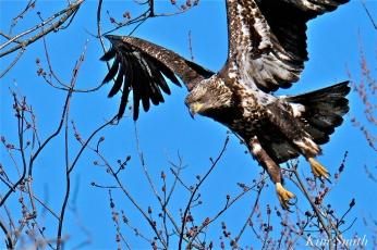American Bald Eagle Juvenile Gloucester