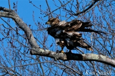 American Bald Eagle Juvenile Gloucester Massachusetts copyright Kim Smith - 03