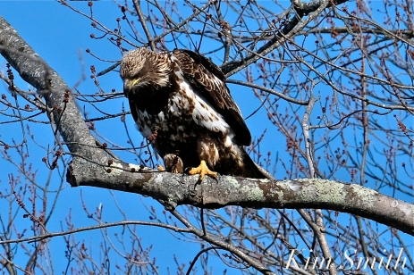American Bald Eagle Juvenile Gloucester Massachusetts copyright Kim Smith - 06