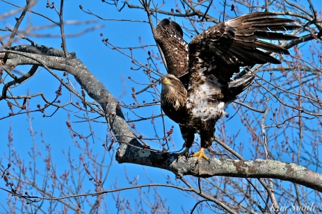 American Bald Eagle Juvenile Gloucester Massachusetts copyright Kim Smith - 10