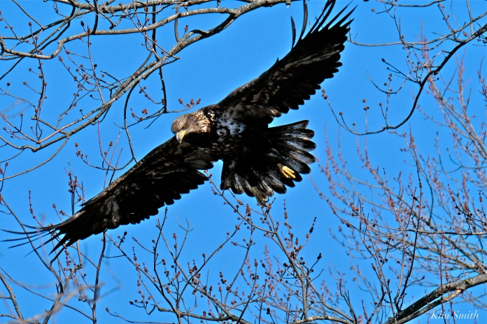 American Bald Eagle Juvenile Gloucester Massachusetts copyright Kim Smith - 15