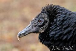 Black Vulture Gloucester Rockport Massachusetts -4 copyright Kim Smith