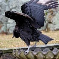 Black Vulture Gloucester Rockport Massachusetts -9 copyright Kim Smith