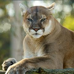 cougar_box