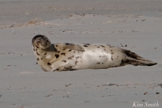 Harp Seal GHBeach Gloucester Massachusetts copyright Kim Smith - 04