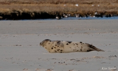Harp Seal GHBeach Gloucester Massachusetts copyright Kim Smith - 06