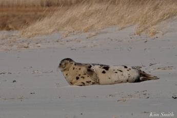 Harp Seal Juvenile GHBeach Gloucester Massachusetts copyright Kim Smith - 09