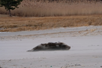 Harp Seal Juvenile Gloucester Massachusetts copyright Kim Smith - 12