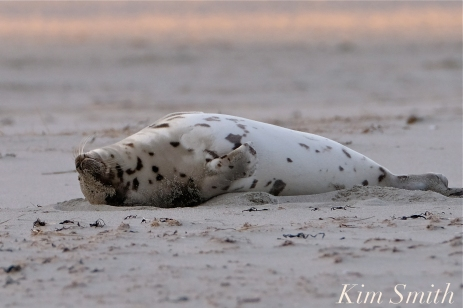 Harp Seal Juvenile Gloucester Massachusetts copyright Kim Smith - 24