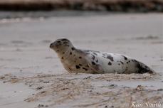 Harp Seal Juvenile Gloucester Massachusetts copyright Kim Smith - 25