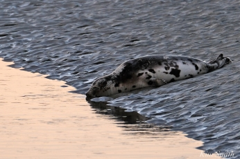 Harp Seal Juvenile Gloucester Massachusetts copyright Kim Smith - 30