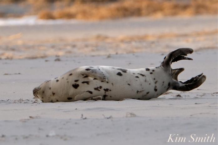 Harp Seal Juvenile Tail Gloucester jpg