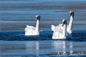 Mute Swans Gloucester Massachusetts copyright Kim Smith - 2