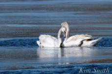 Mute Swans Gloucester Massachusetts copyright Kim Smith - 4