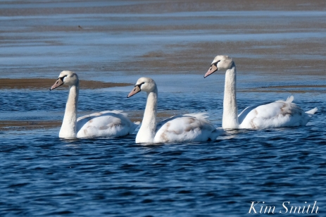 Mute Swans Gloucester Massachusetts copyright Kim Smith - 5