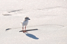 Piping Plover Chick Tread Lightly copyright Kim Smith