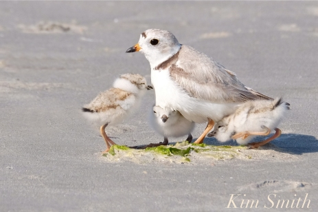 Piping Plover Chicks Snuggling copyright Kim Smith