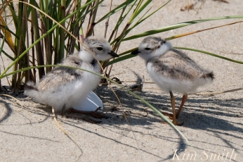 Piping Plover Chicks taking shelter copyright Kim Smith