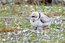 Piping Plover Male Nest Good Harbor Beach Parking Lot Gloucester MA June 5, 2018 Hi Res for GTimes copyright Kim Smith