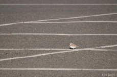 Piping Plovers Nesting in Parking Lot copyright Kim Smith