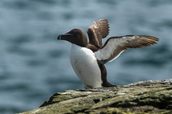Razorbill_-_Farne_Is_-_FJ0A1483_(36333754245)