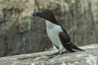 Razorbill_-_Farne_Is_-_FJ0A5608_(35937307460)