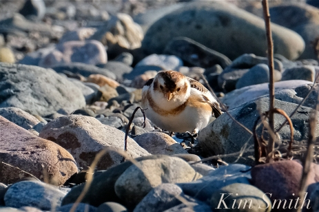 Snow Buntings Rocks Camouflage -2 copyright Kim Smith