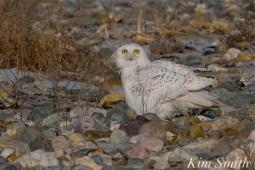 Snowy Owl Male Eyes copyright Kim Smith