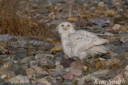 Snowy Owl Male Eyes copyright Kim Smith