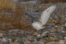 Snowy Owl Male Wimgs -1 copyright Kim Smith