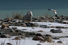 Snowy Owl photobombed Snow Bunting copyright Kim Smith - 12