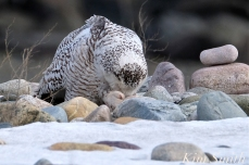Snowy Owl Snowy Beach female copyright Kim Smith - 04