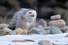 Snowy Owl Snowy Beach female copyright Kim Smith - 05
