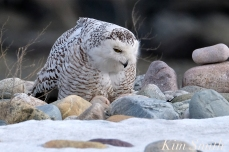 Snowy Owl Snowy Beach female copyright Kim Smith - 06
