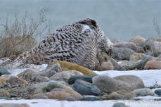 Snowy Owl Snowy Beach female copyright Kim Smith - 09