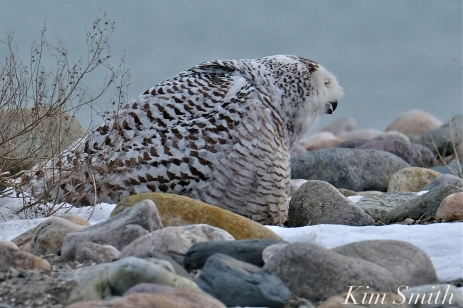 Snowy Owl Snowy Beach female copyright Kim Smith - 10