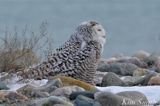 Snowy Owl Snowy Beach female copyright Kim Smith - 11