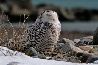 Snowy Owl Snowy Beach female copyright Kim Smith - 13 jpg