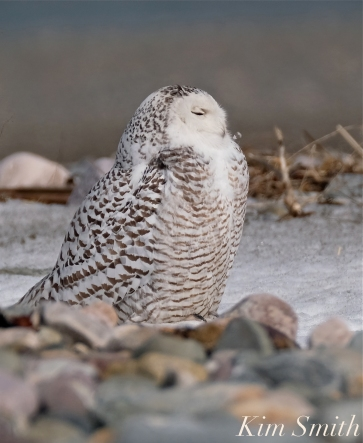 Snowy Owl Snowy Beach female copyright Kim Smith - 16