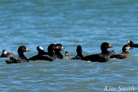 Surf Scoter Male and Female copyright Kim Smith