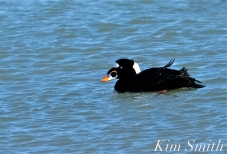 Surf Scoter Male copyright Kim Smith