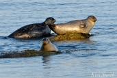 Harbor Seals Gloucester Massachusetts -1 copyright Kim Smith