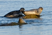 Harbor Seals Gloucester Massachusetts -1 copyright Kim Smith