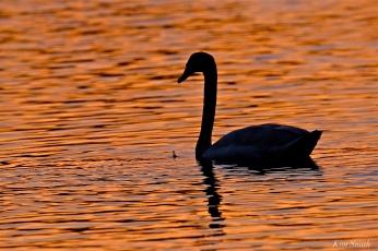 Mute Swan Gloucester Massachusetts copyright Kim Smith
