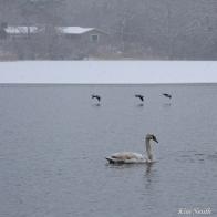 Mute Swans fBuffleheads Snowy Day Gloucester Massachusetts copyright Kim Smith