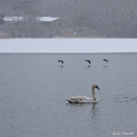 Mute Swans fBuffleheads Snowy Day Gloucester Massachusetts copyright Kim Smith