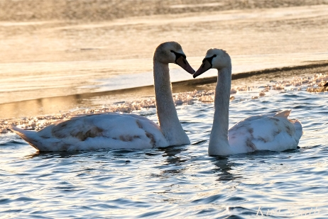 Mute Swans first hatch year Gloucester MA copyright Kim Smith