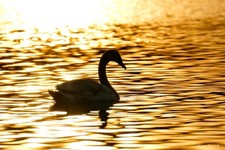 Mute Swans first hatch year Gloucester Massachusetts -11 copyright Kim Smith